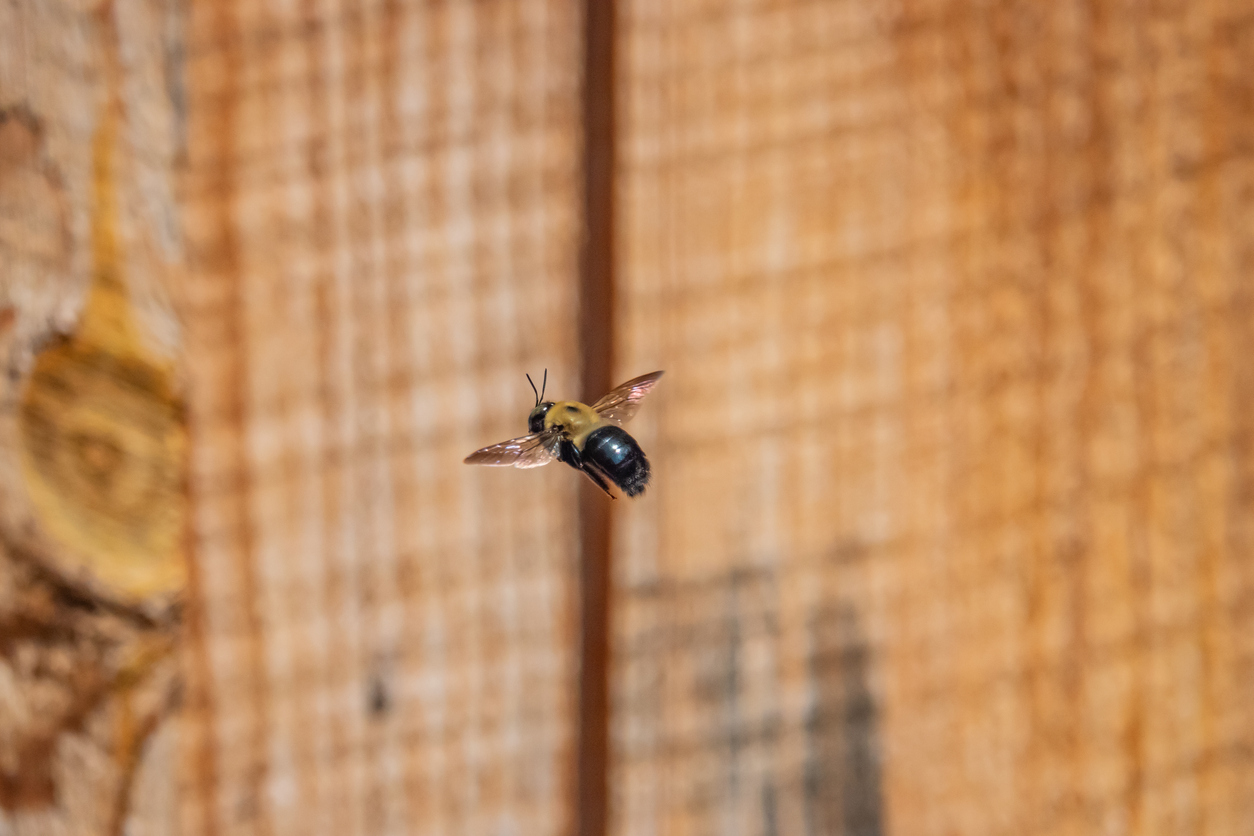 Eastern Carpenter Bee Flying in Springtime